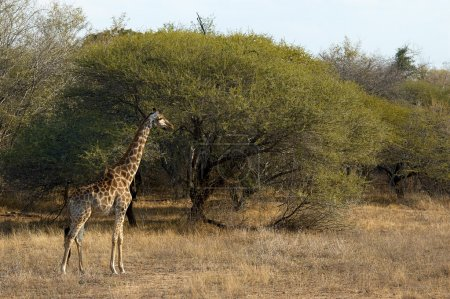 Beautiful giraffe in an African Park
