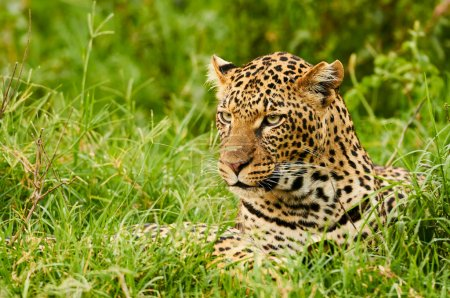Female leopard portrait