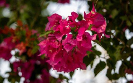 Photo pour Belle branche de fleurs rose magenta bougainvillea avec un fond sombre et flou - image libre de droit