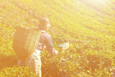 Picker harvesting tea leaves