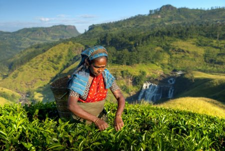 Tea picker picking tea