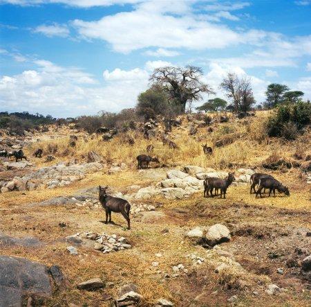 Photo pour Waterbuck, antielope, arbre, buisson, nature, faune, Afrique du Sud, afrique, savane - image libre de droit