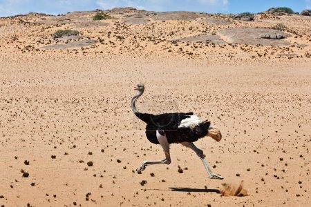 Ostrich, bird, running, savannah, africa, namibia,...