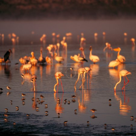 flamingos and reflection in the water.