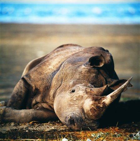 rhino lying in sand
