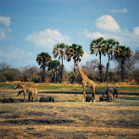 Group of giraffes in Tanzania