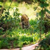 Divoké leopardí na trávě