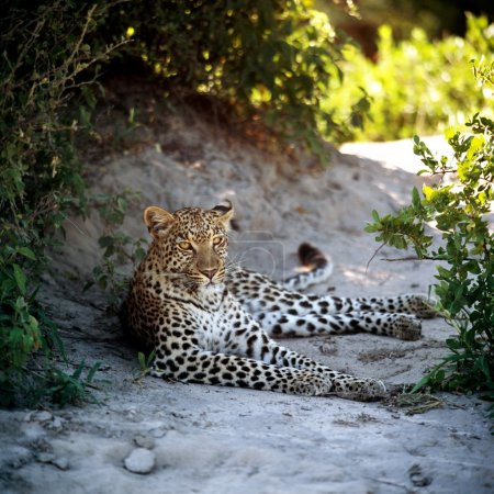 Wild leopard laying on ground among plants...