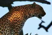 Divoké leopardí zblízka