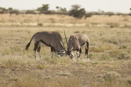 Two male antelopes fighting for territory