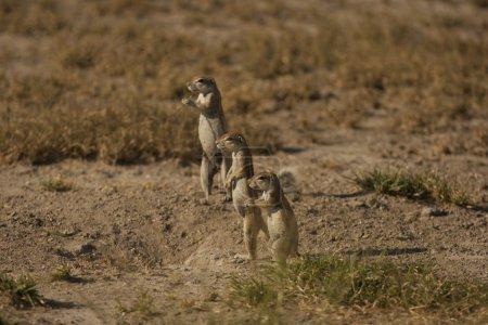 Three gophers standing