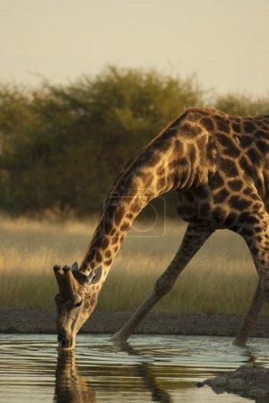 Giraffe drinks water
