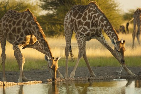 Giraffes drinks water