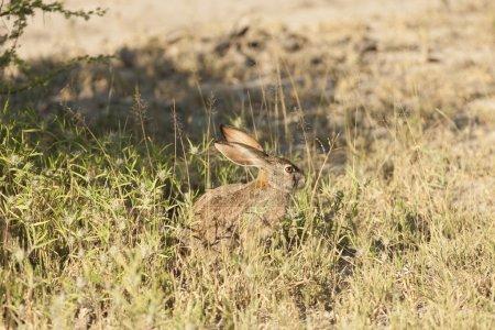 Photo for Alert scrub hare (Lepus saxatilis) among grass, - Royalty Free Image