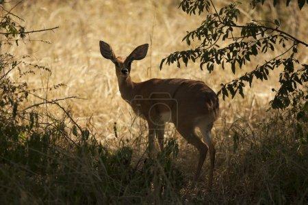 Female antelope kudu
