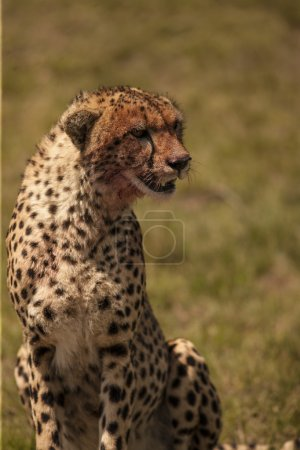 Portrait of Sitting cheetah