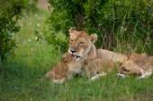 Lvice a její Lví mláďata