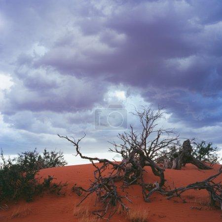 Dry tree in Gold desert