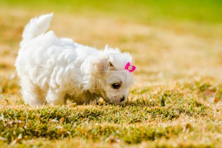 Puppy Maltese with back light in golden hour, playing on the gra