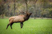 Trophy class Bull Elk