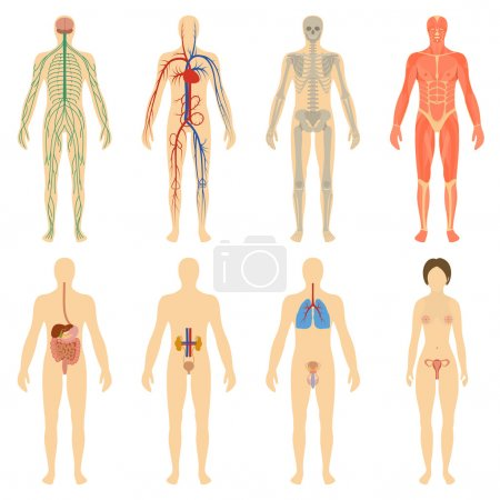 Illustration for Set of human organs and systems of the body vitality. Vector illustration - Royalty Free Image