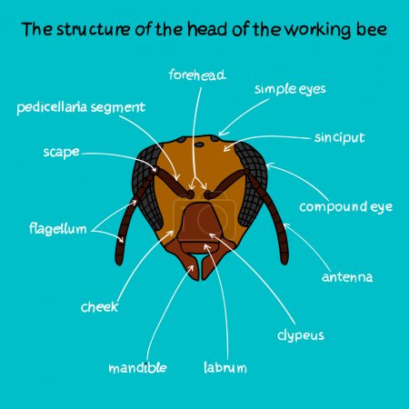 The structure of the head of the working bee color