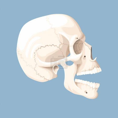 Illustration for Vector illustration of human skull with open mouth - Royalty Free Image