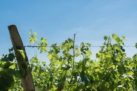 Vineyard for Bordeaux's red wine