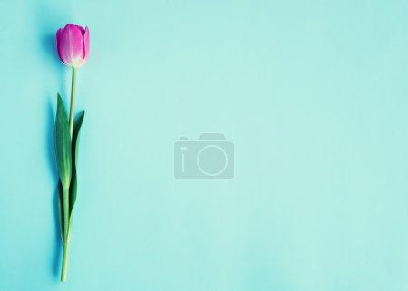spring bright  tulip