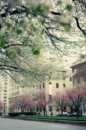 Photo pour Immeuble de New York et de cerisiers en fleurs, printemps - image libre de droit