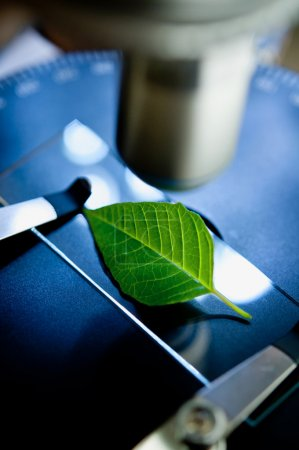 Observation of leaf with  microscope