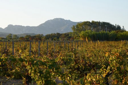 Sunset Italy vineyards green leaves ripe fruits of grapes