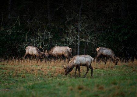 Group of Bull Elk Spar in Early Spring