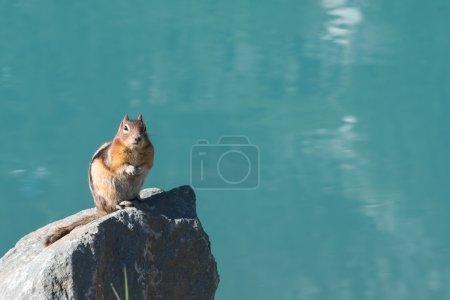 Photo pour L'écureuil au sol est assis sur un rocher devant Lake Louise et son eau bleue cristalline - image libre de droit