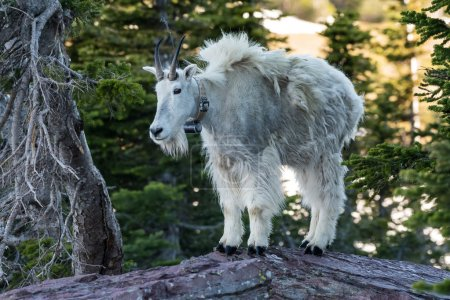 Adult Mountain Goat Stands on top of Rock