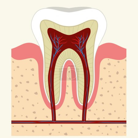 Human tooth and gum anatomy