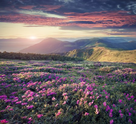 Photo pour Blossom carpet of pink rhododendron flowers in the mountains at sunrise, Retro style. - image libre de droit
