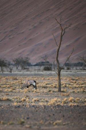 Oryx grazing on grass