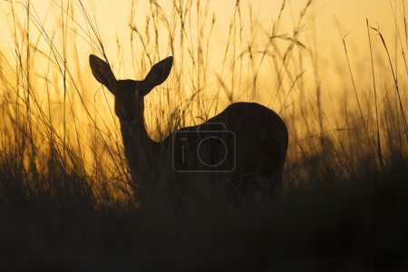 Reed Buck at sunset