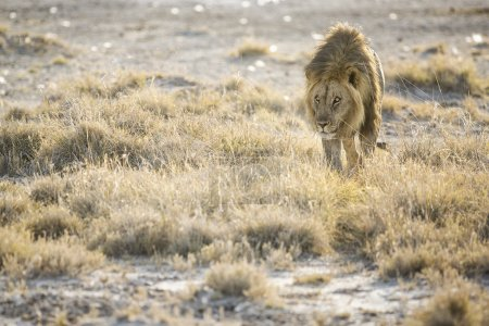 Male Lion in Etosha
