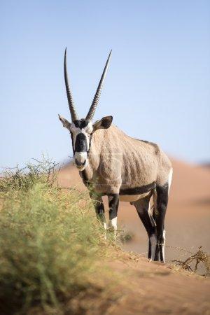 Gemsbok grazing on a dune