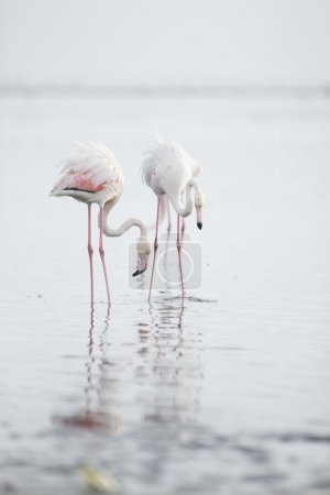 Flamingo at the Walvis Bay wetland