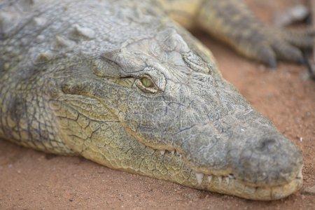 Crocodile on a river bank