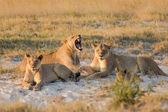 Lví mládě hraní