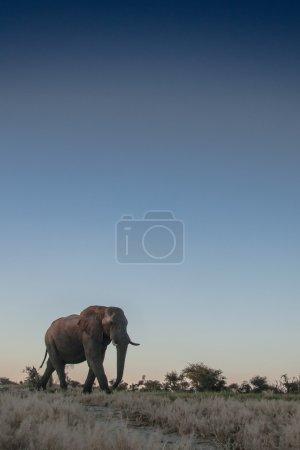Bull Elephant in Africa