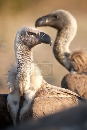 Vulture on a carcass in Botswana....