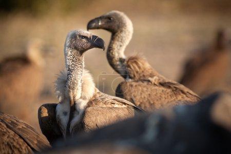 Close up details of a vulture