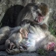 Постер, плакат: Snow monkey family