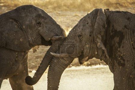 Photo pour Éléphants se touchant doucement - image libre de droit