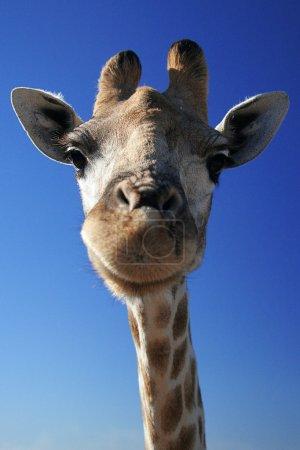 Giraffe against the blue sky